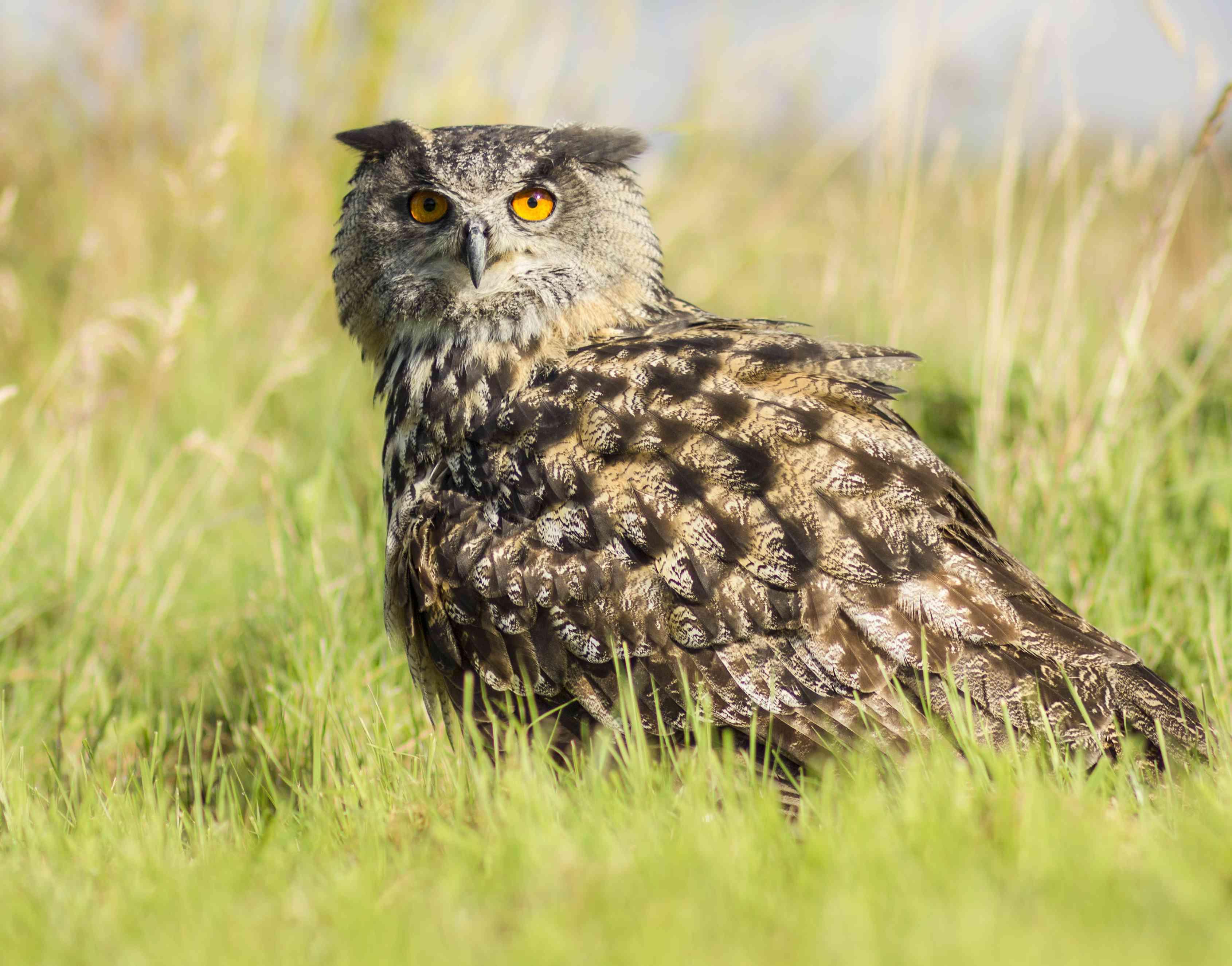 Eurasian eagle owl in tall grass