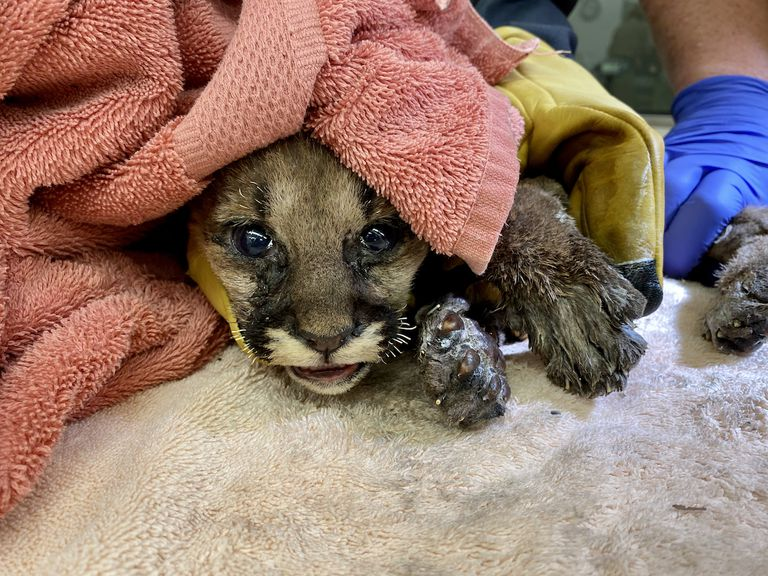 The cub's whiskers were completely singed off and his paws were badly burned.