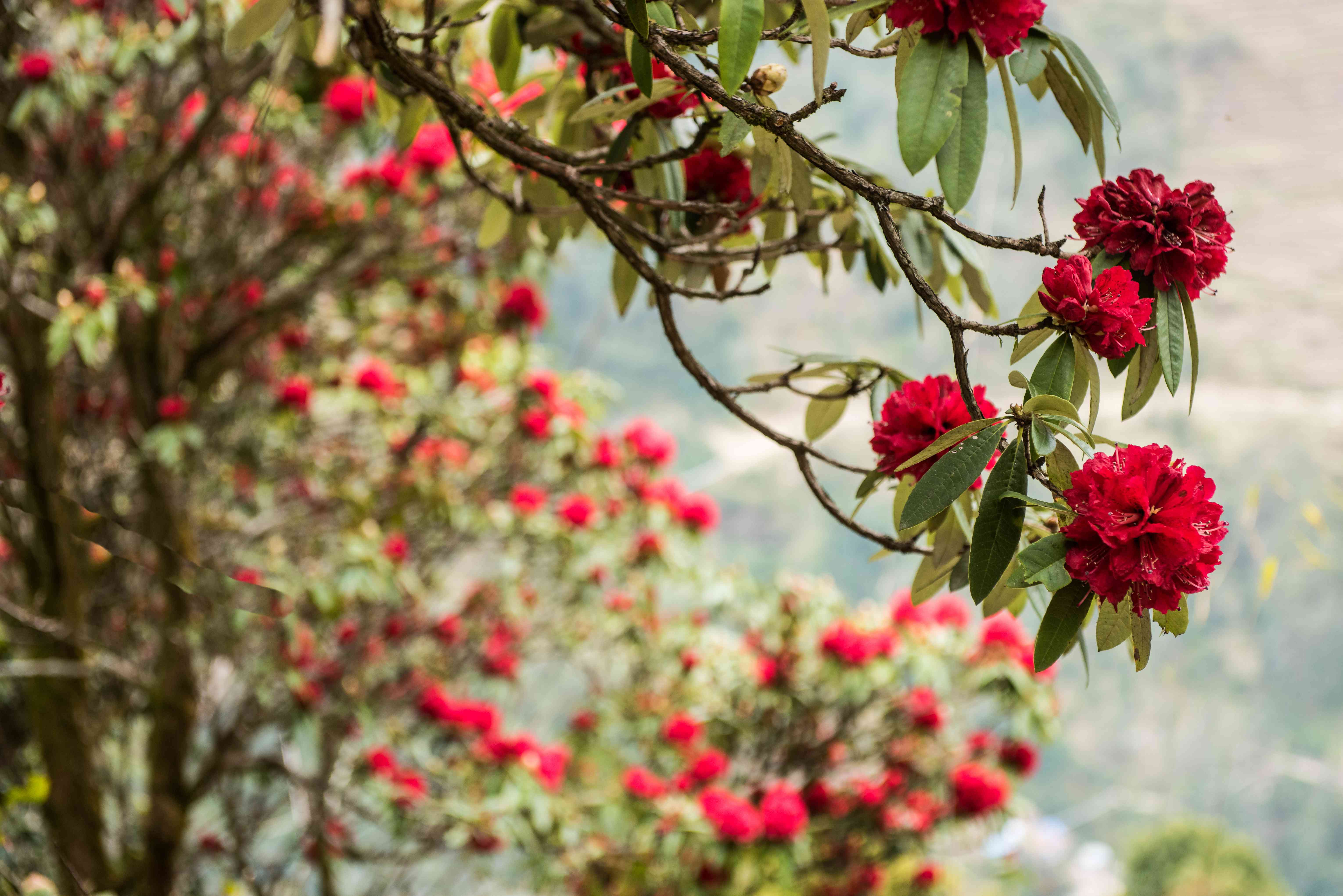 rhododendron flowers blooming in Nepal