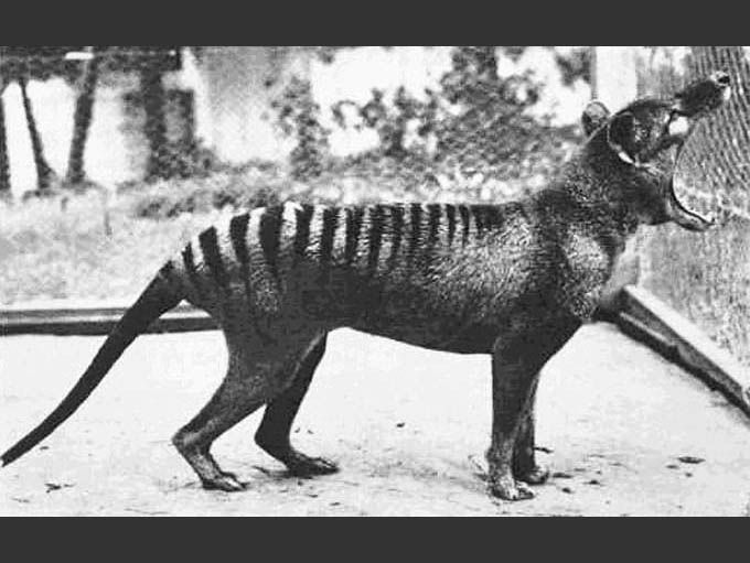 Black and white photo of thylacine or thylacine-like animal
