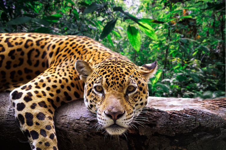 Close-up of a jaguar resting on a branch.