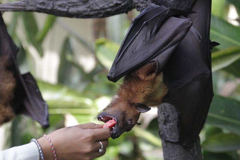 Woman Feeding Fruit Bat Hanging From Tree