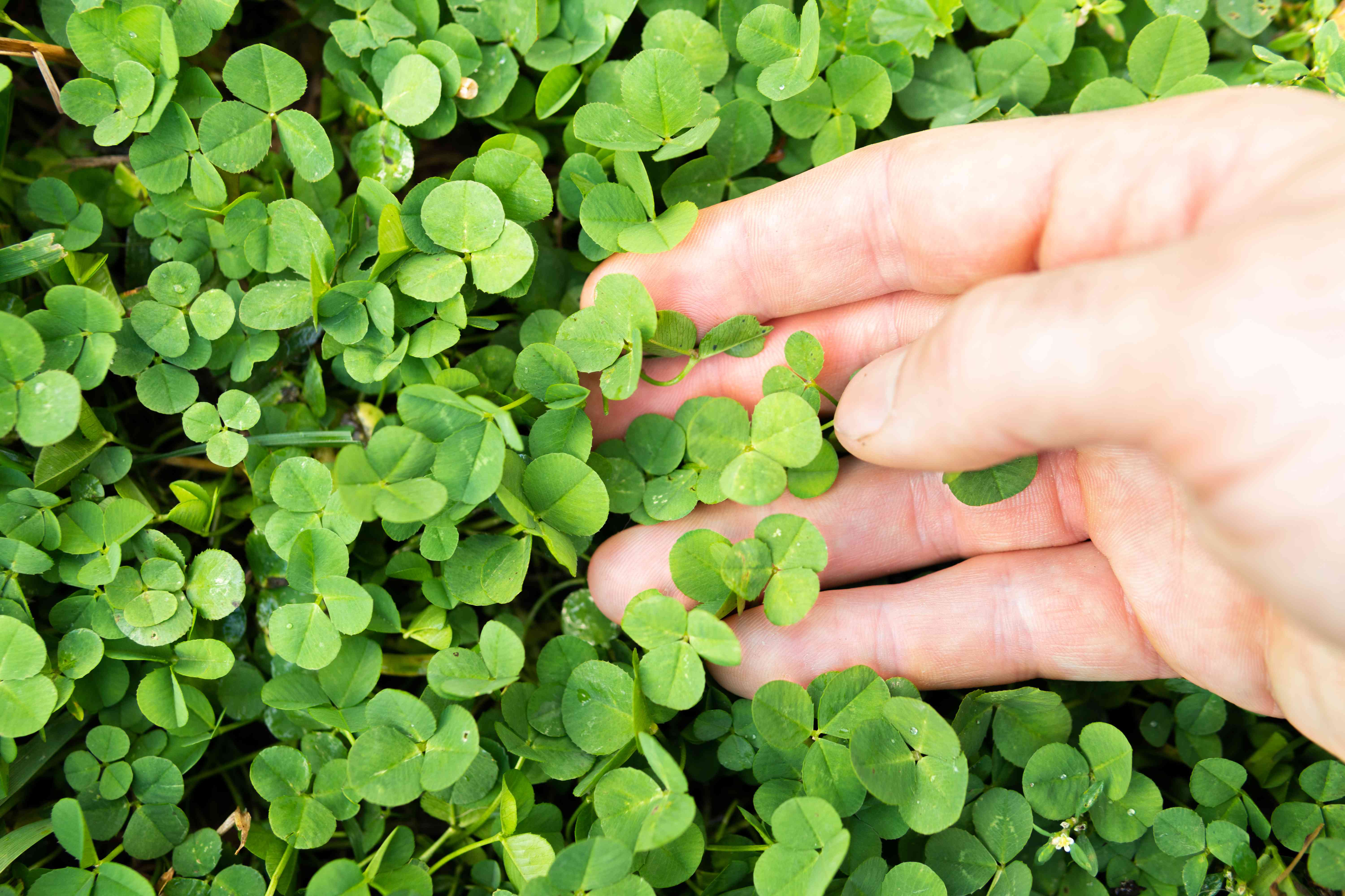 hands touching small clover leaves