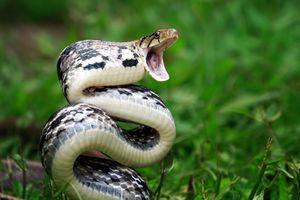 Copper headed Trinket Snake ready to strike, Indonesia
