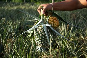 pineapples harvested