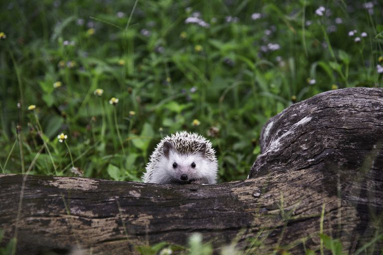 Young hedgehog with white fur on a fallen tree stump surrounded by grass and small flowers
