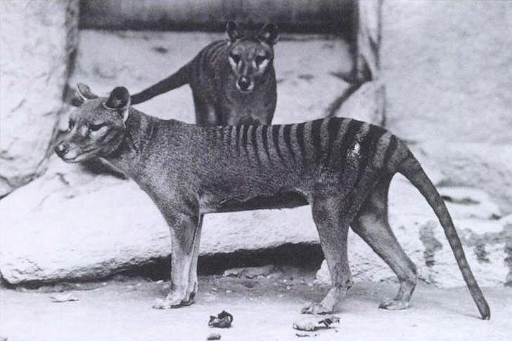 Los 'avistamientos' del tigre de Tasmania impulsan una nueva caza científica