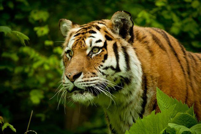 10 hechos fascinantes sobre los tigres