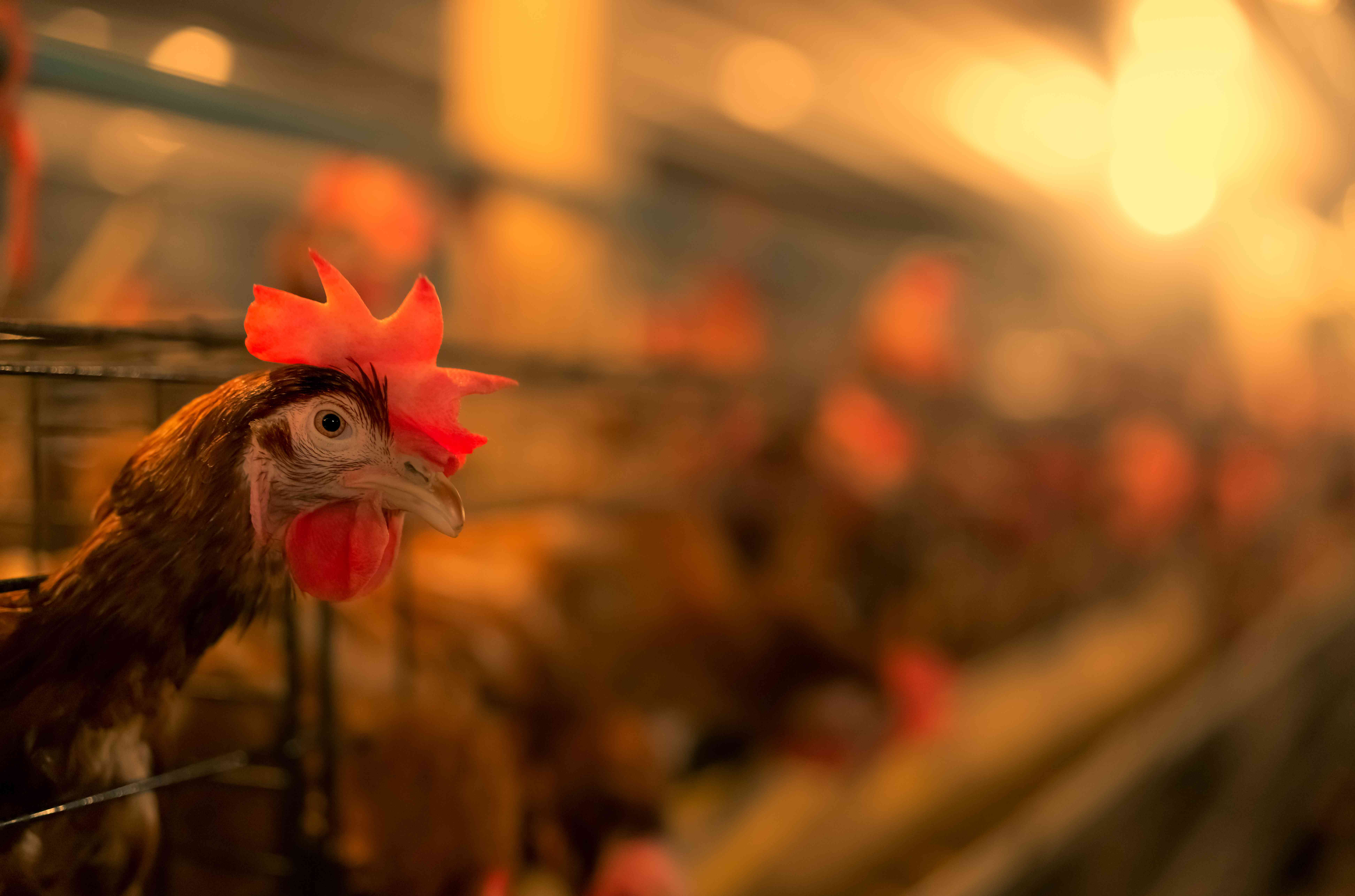 A chicken at a commercial hen operation.