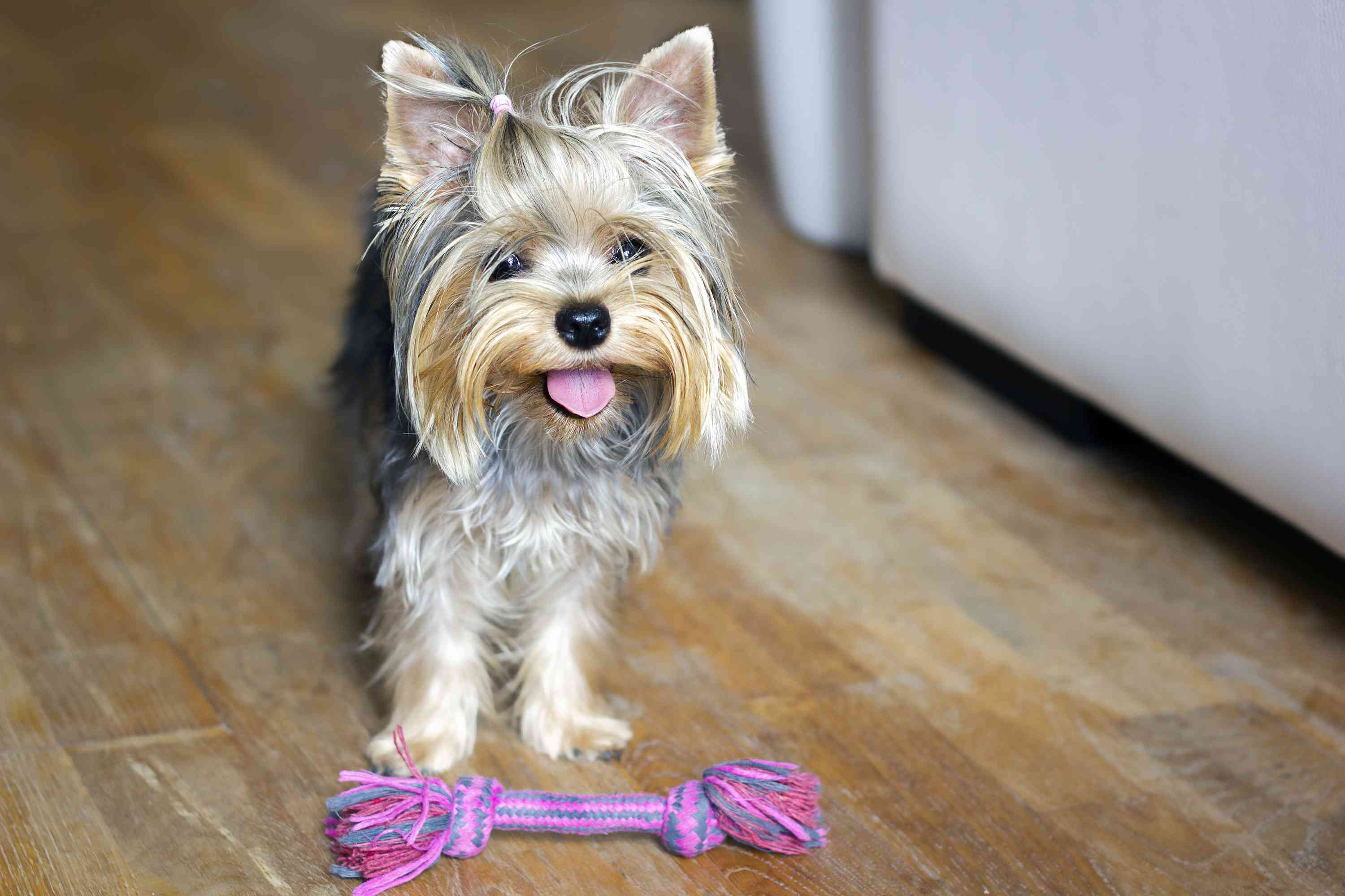 Dog standing over colorful toy