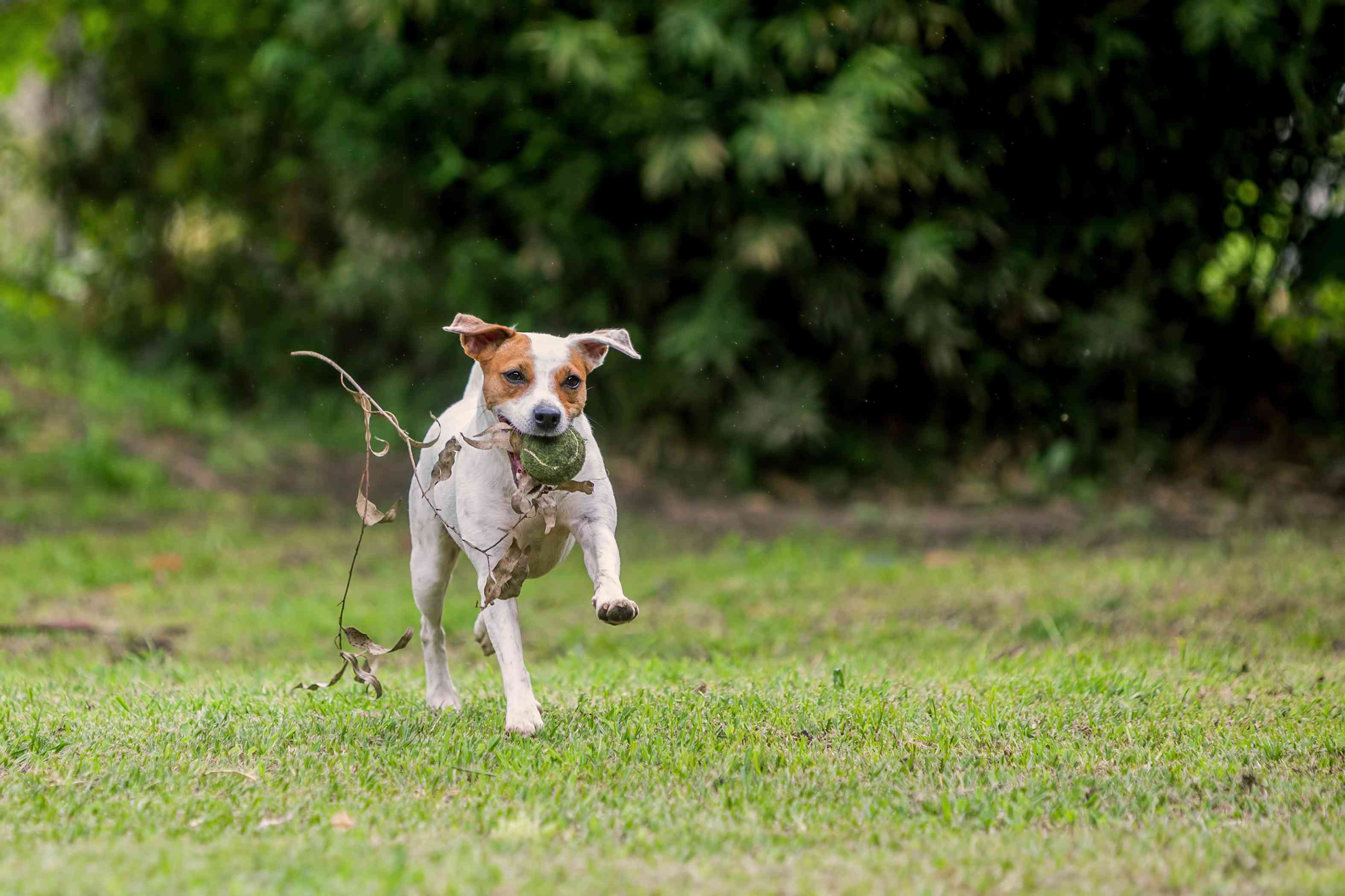 parson russell terrier dog running fast holding tennis ball and stick with leaves in mouth