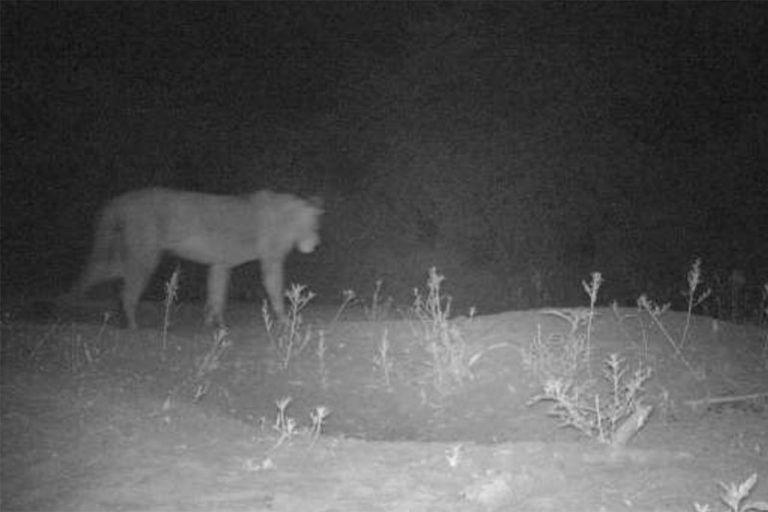 Población de leones ocultos encontrada en Etiopía