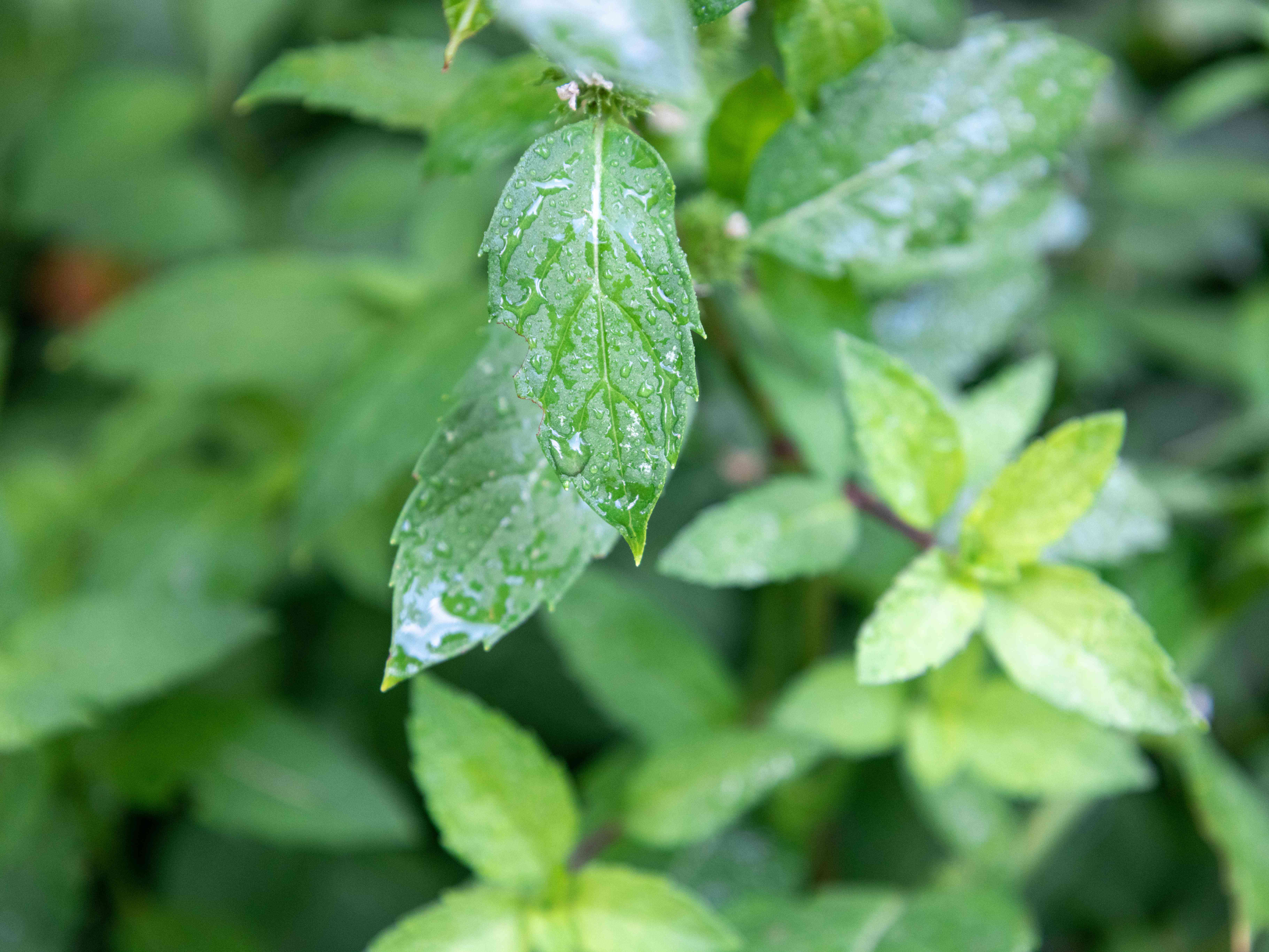 close view of peppermint plant growing outdoors with water droplets
