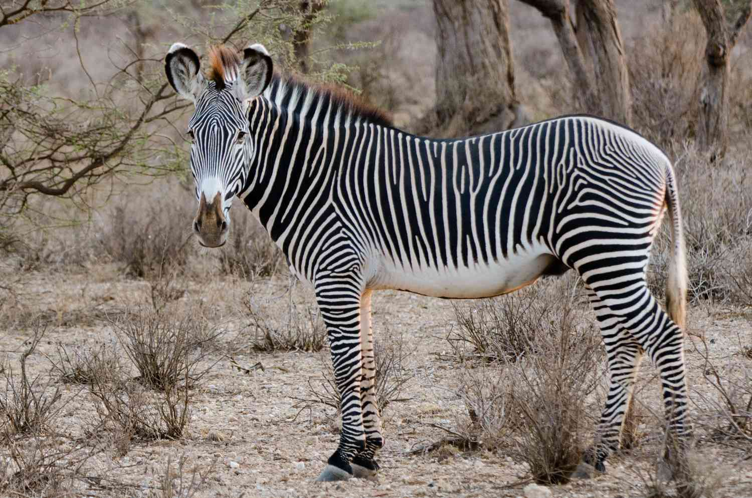 A zebra standing in an open pasture.