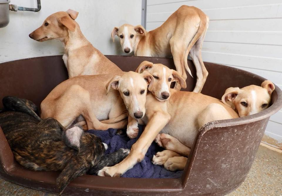 Galgo puppies laying together.