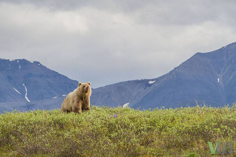 Grizzly bear at the Arctic National Wildlife Refuge