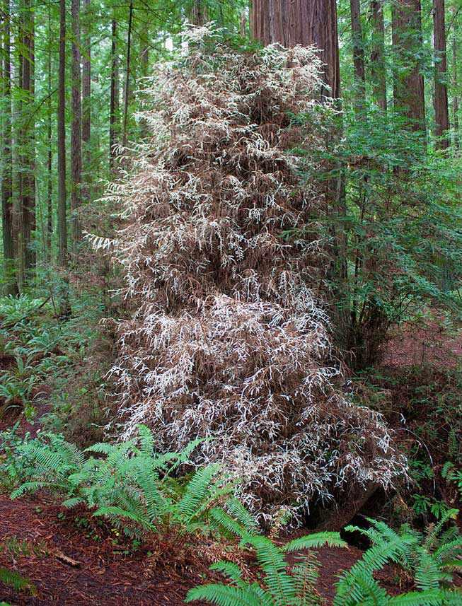 Albino redwood in Humboldt