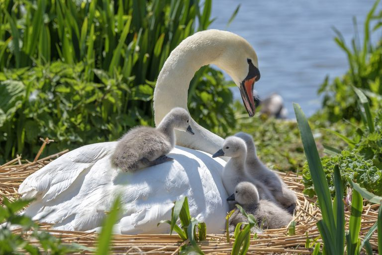 White female swan in a nest near the water with her fluffy grey cygnets climbing on her