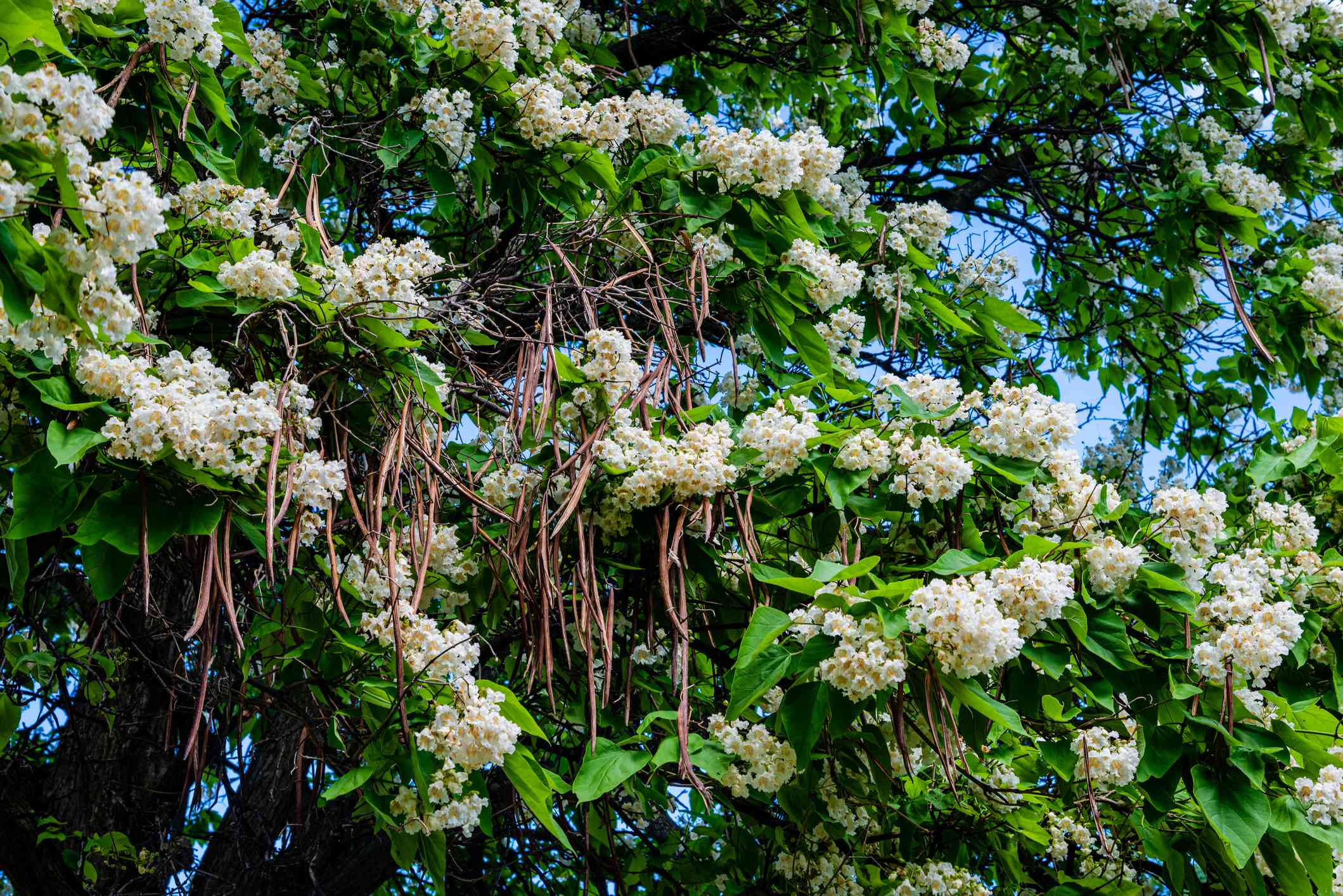 Northern catalpa with white flower clusters and large green leaves in bloom