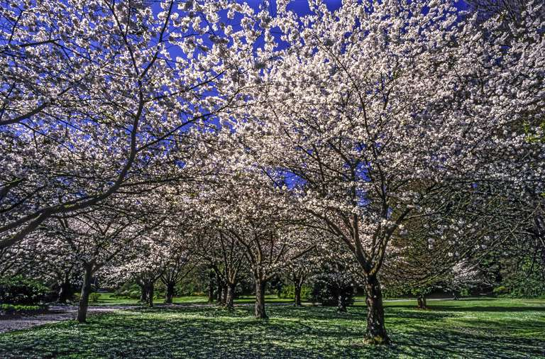 A field of cherry blossom trees in full pink color on a green grassy field at Stanley Park, Vancouver under a clear blue sky