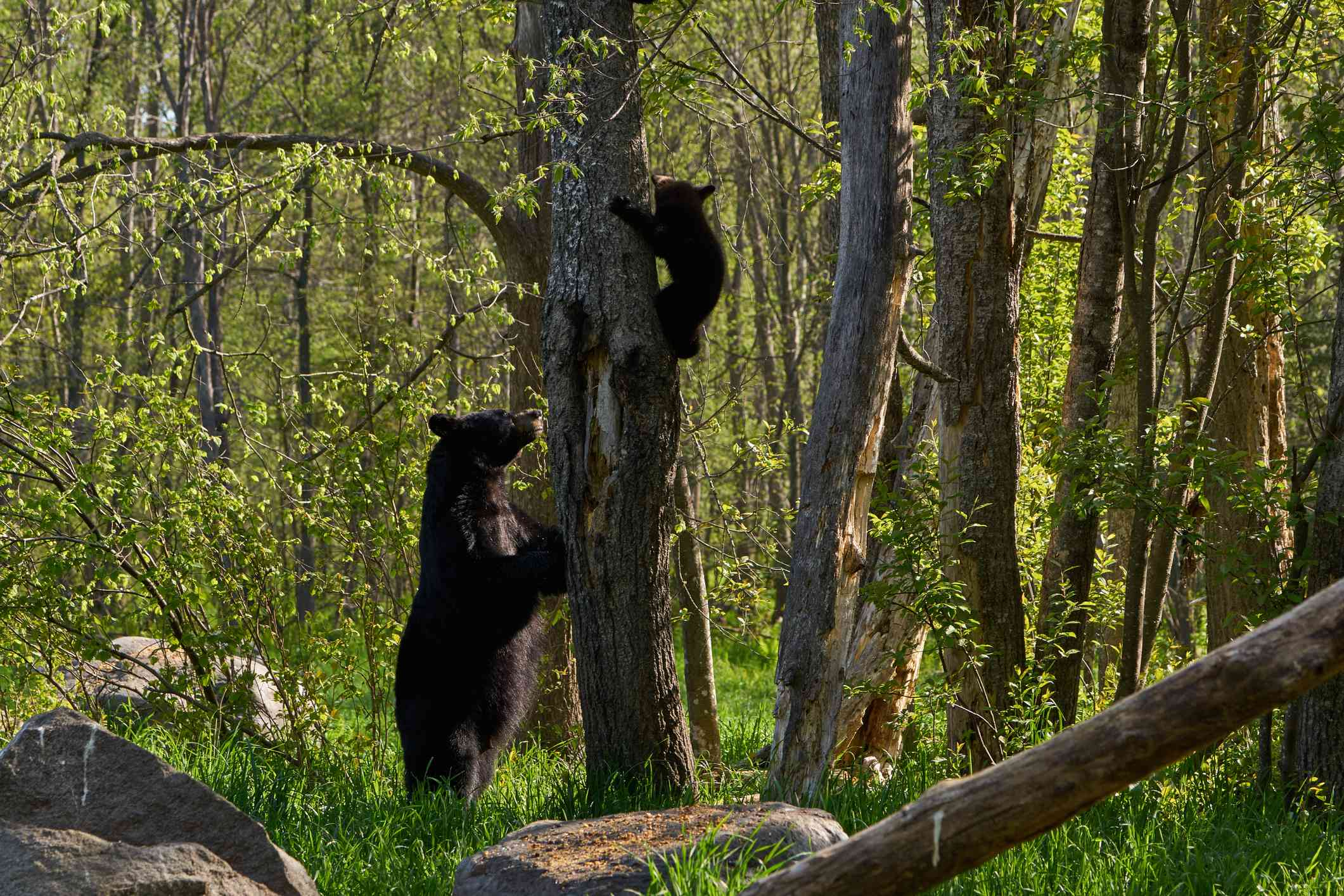A female black bear teaching her young cub to climb a tree in the forest