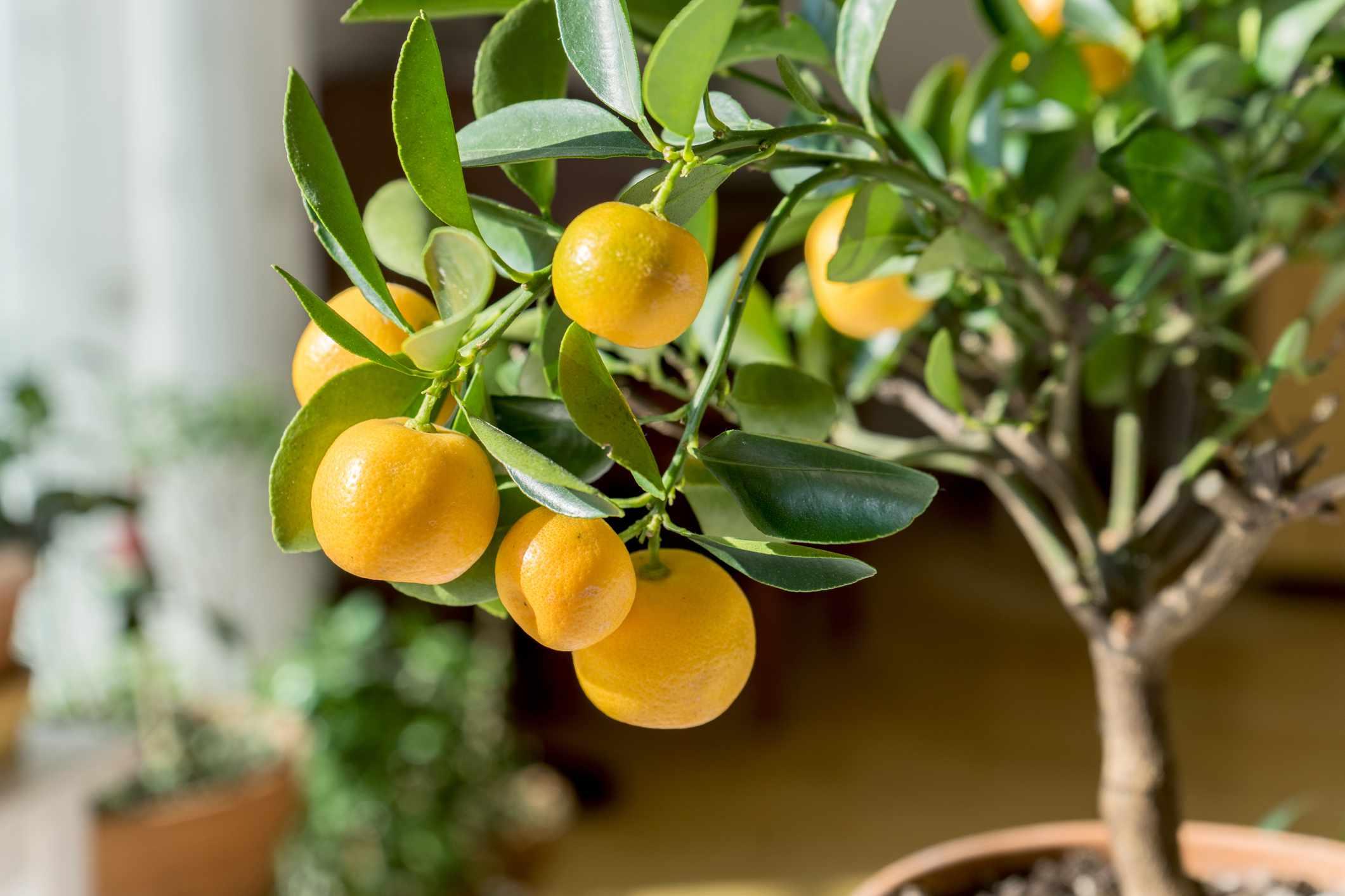 Small orange tree in a pot inside