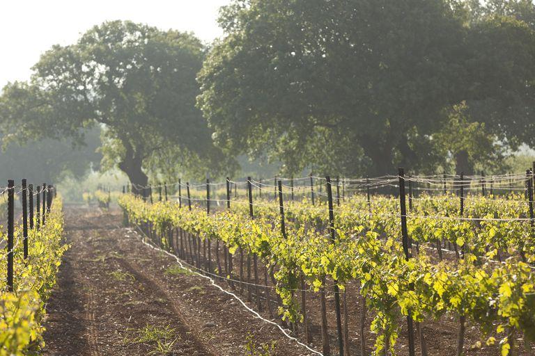 a vinyard in Isreal