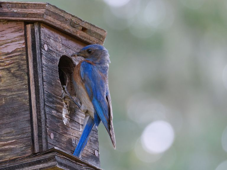 bluebird hovers outside wooden birdhouse entry hole