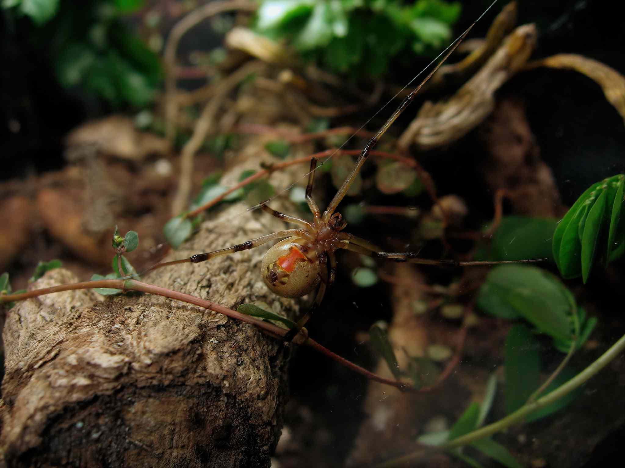 brown widow spider, Latrodectus geometricus, in web