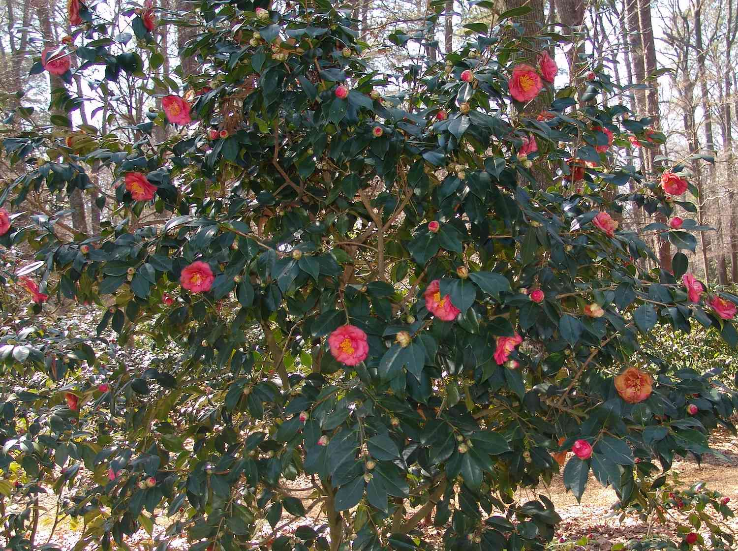 A rounded green bush with a couple dozen pink Japanese camellia flowers in full bloom