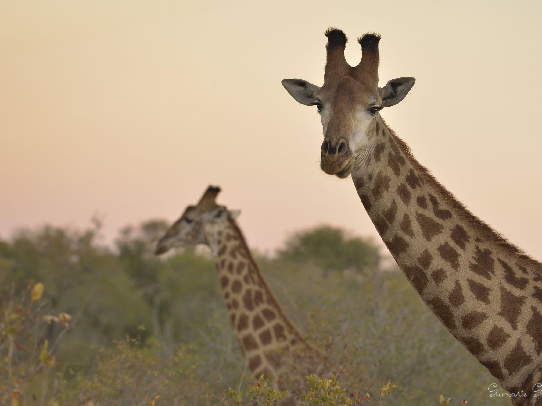Wild Giraffes Are Suffering A Silent Extinction
