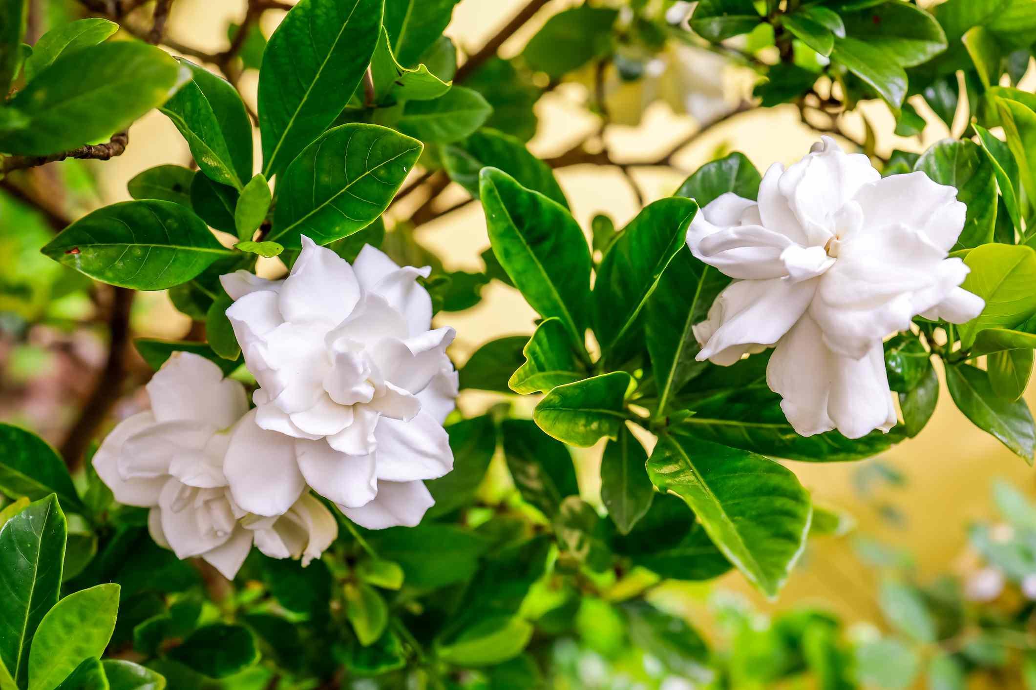 Close up of white gardenia blossoms