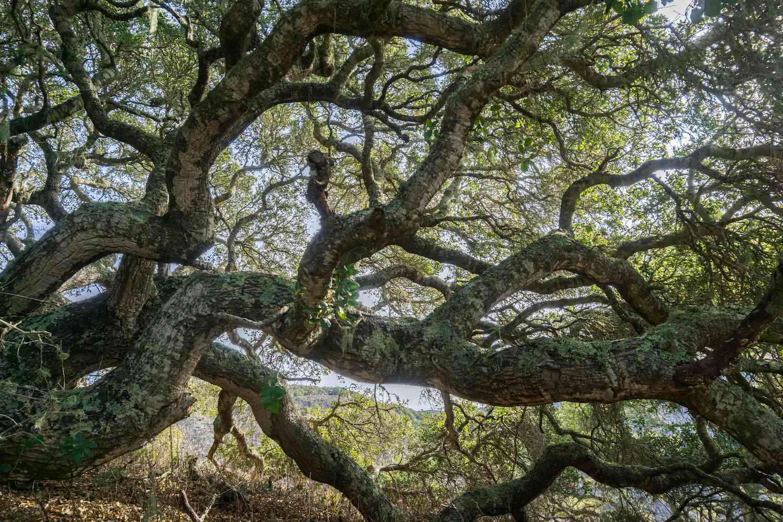 Wi'áaşal the Great Oak in Montana de Oro State Park, central California
