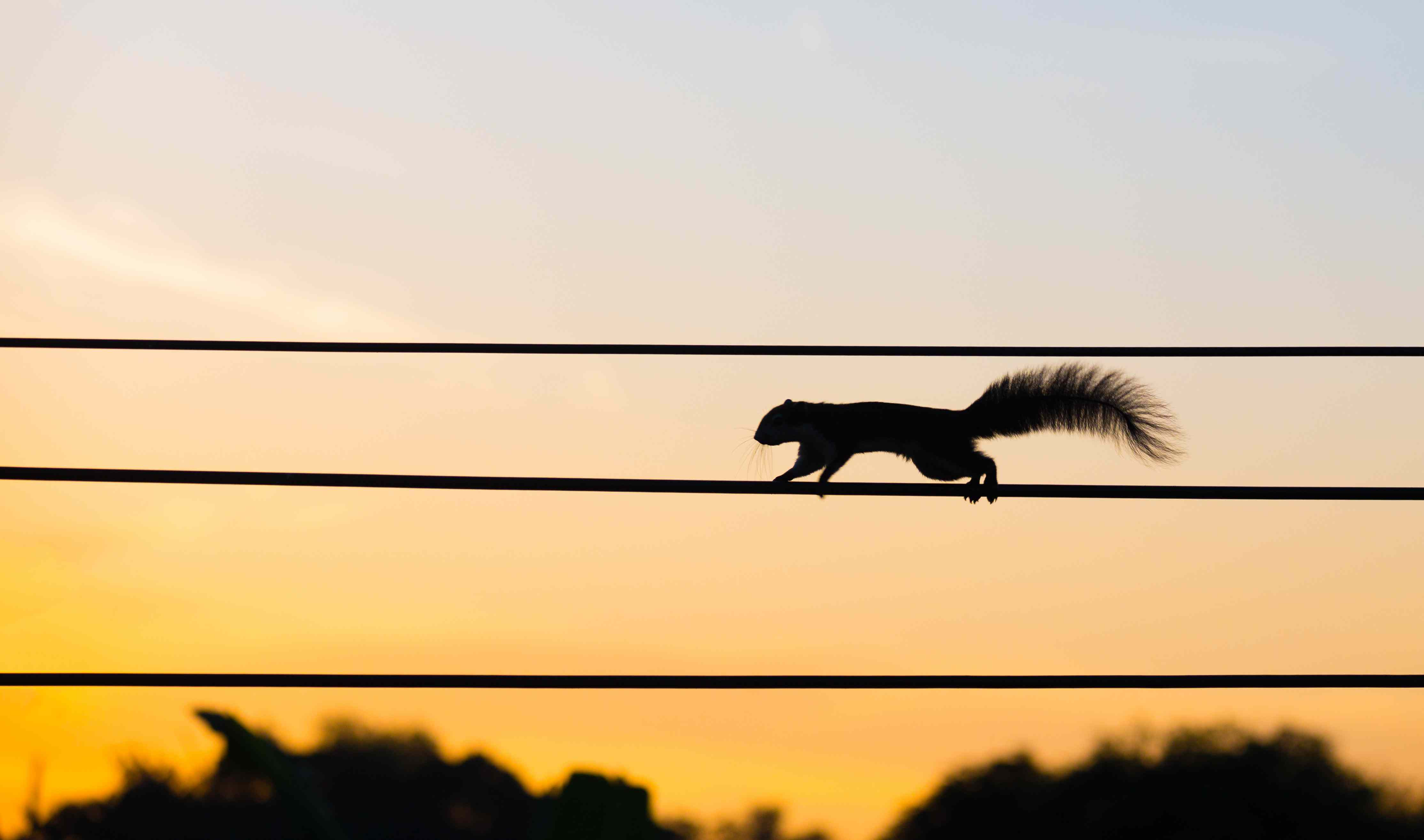 squirrel on power lines