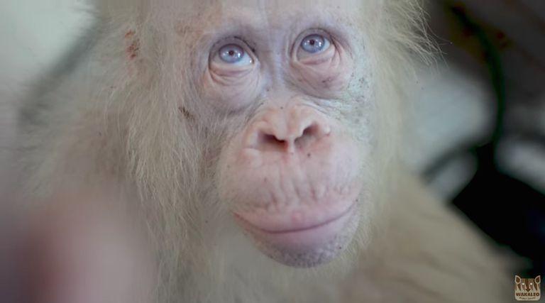 Esta hermosa orangután albino está esperando su 'Isla del bosque'
