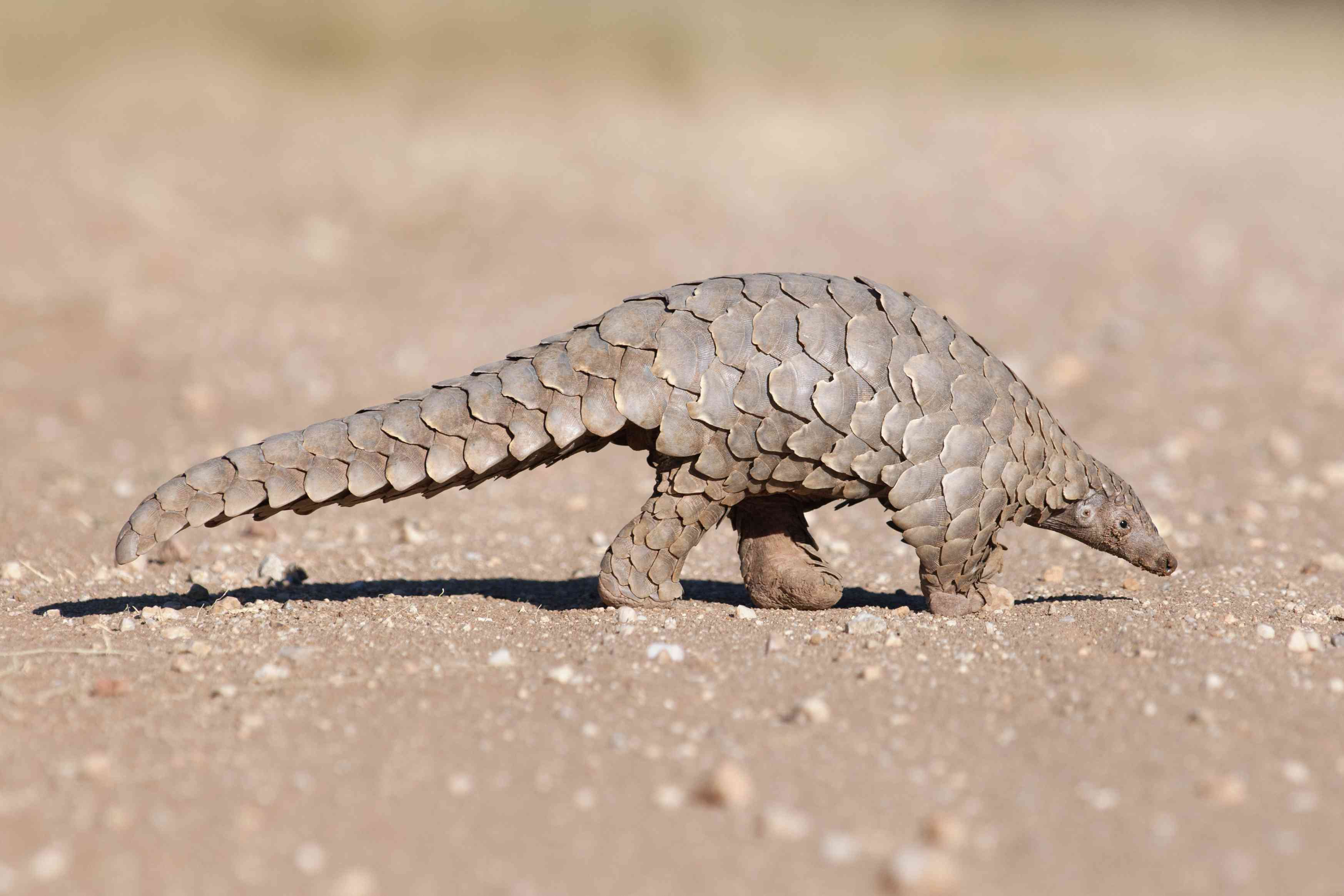 Pangolin on sandy ground hunting for ants