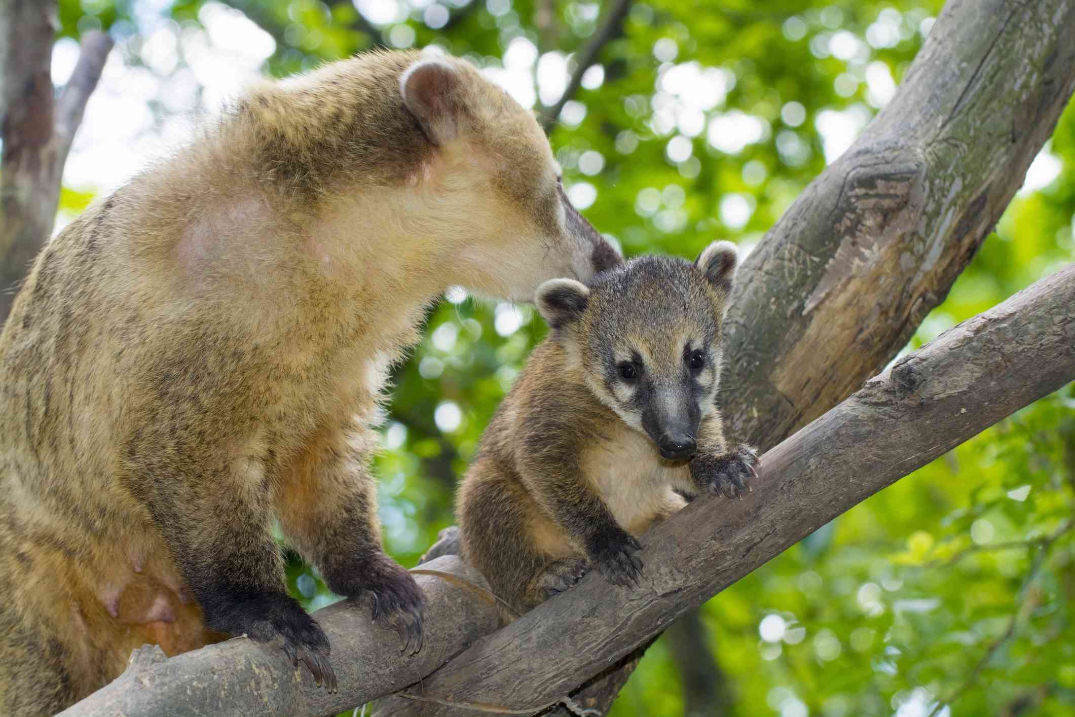 South American coati mother and its baby