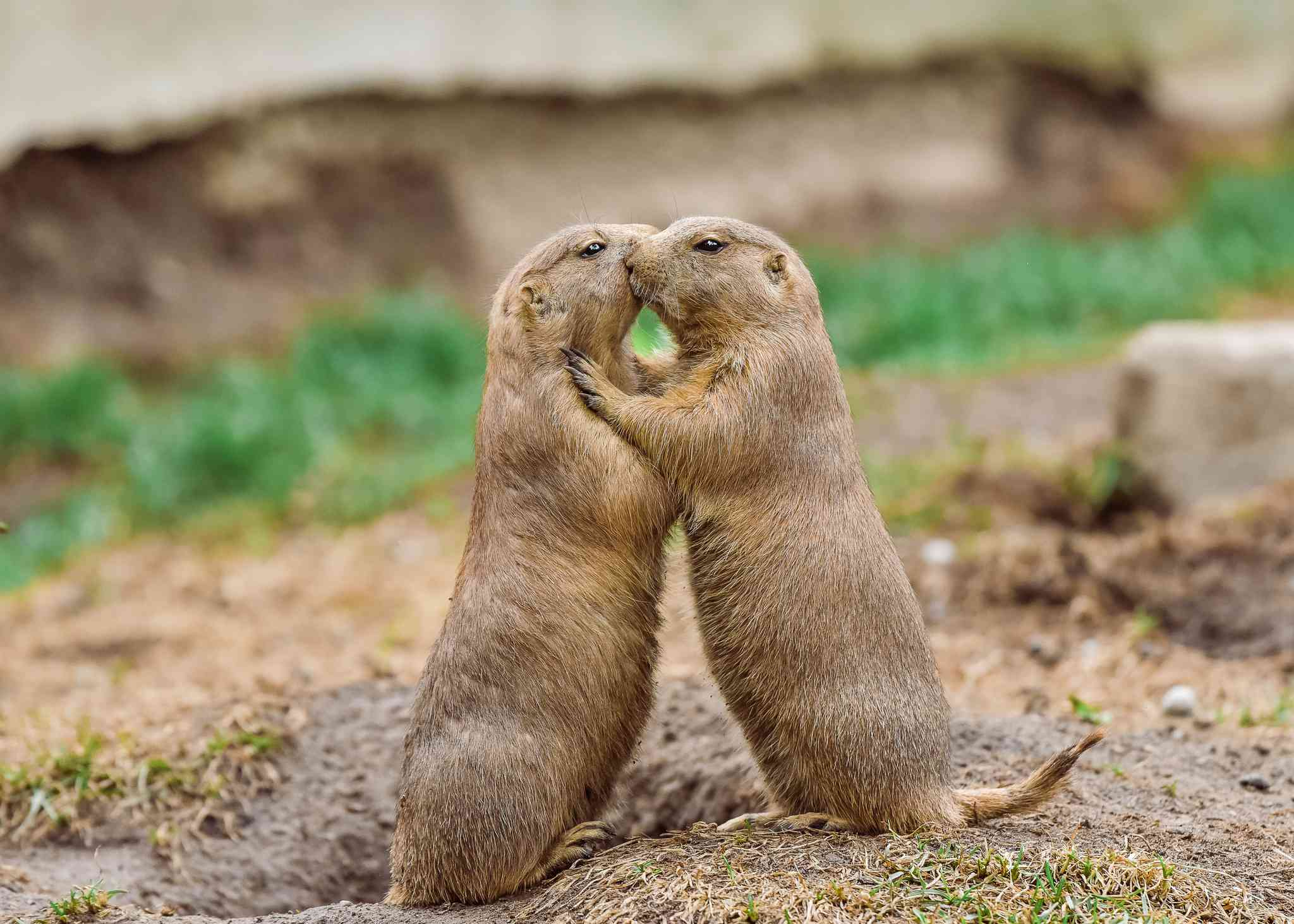 Prairie dogs greet-kissing outside a burrow