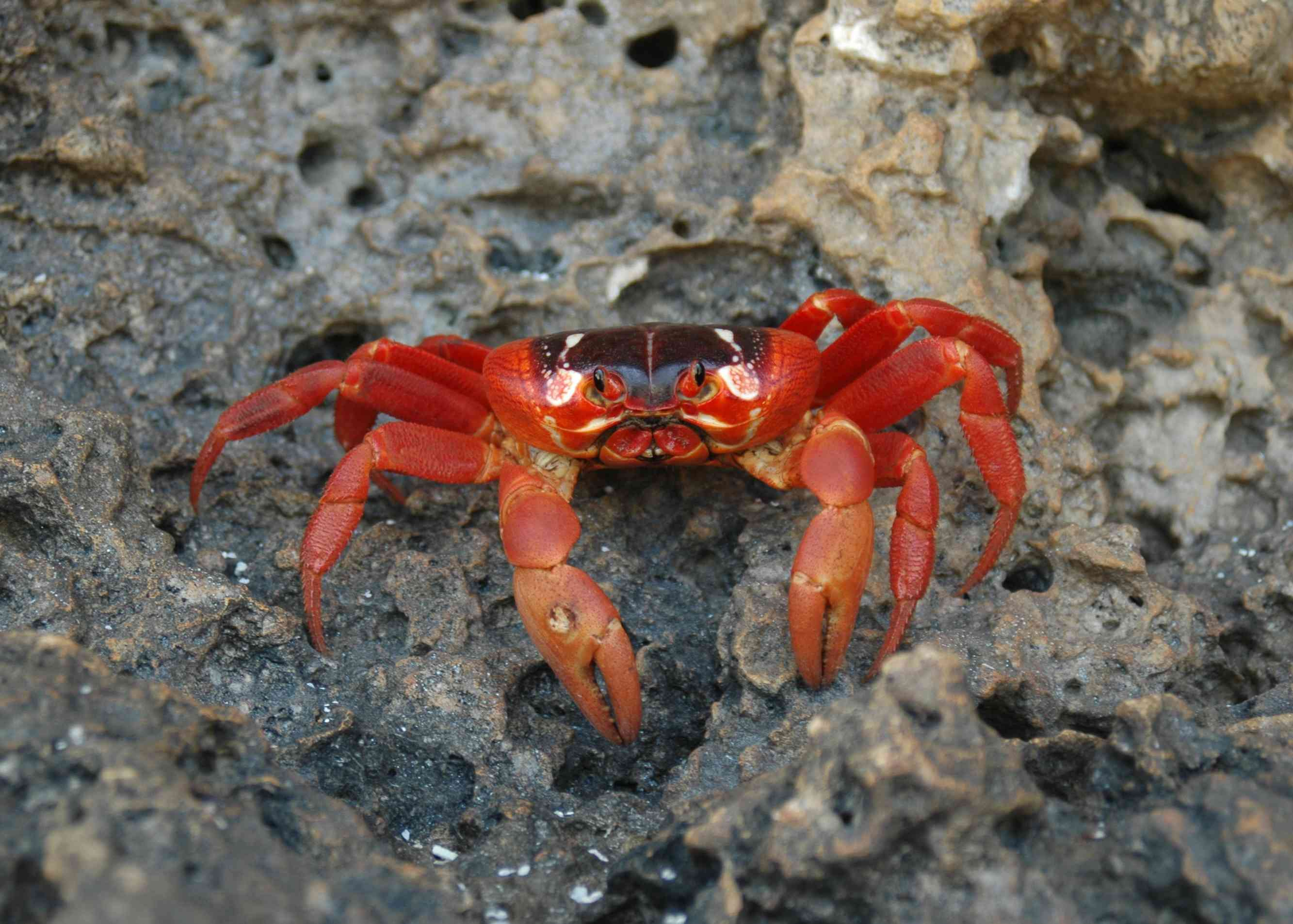Close-up of rare red crab of the Christmas Island, Australia