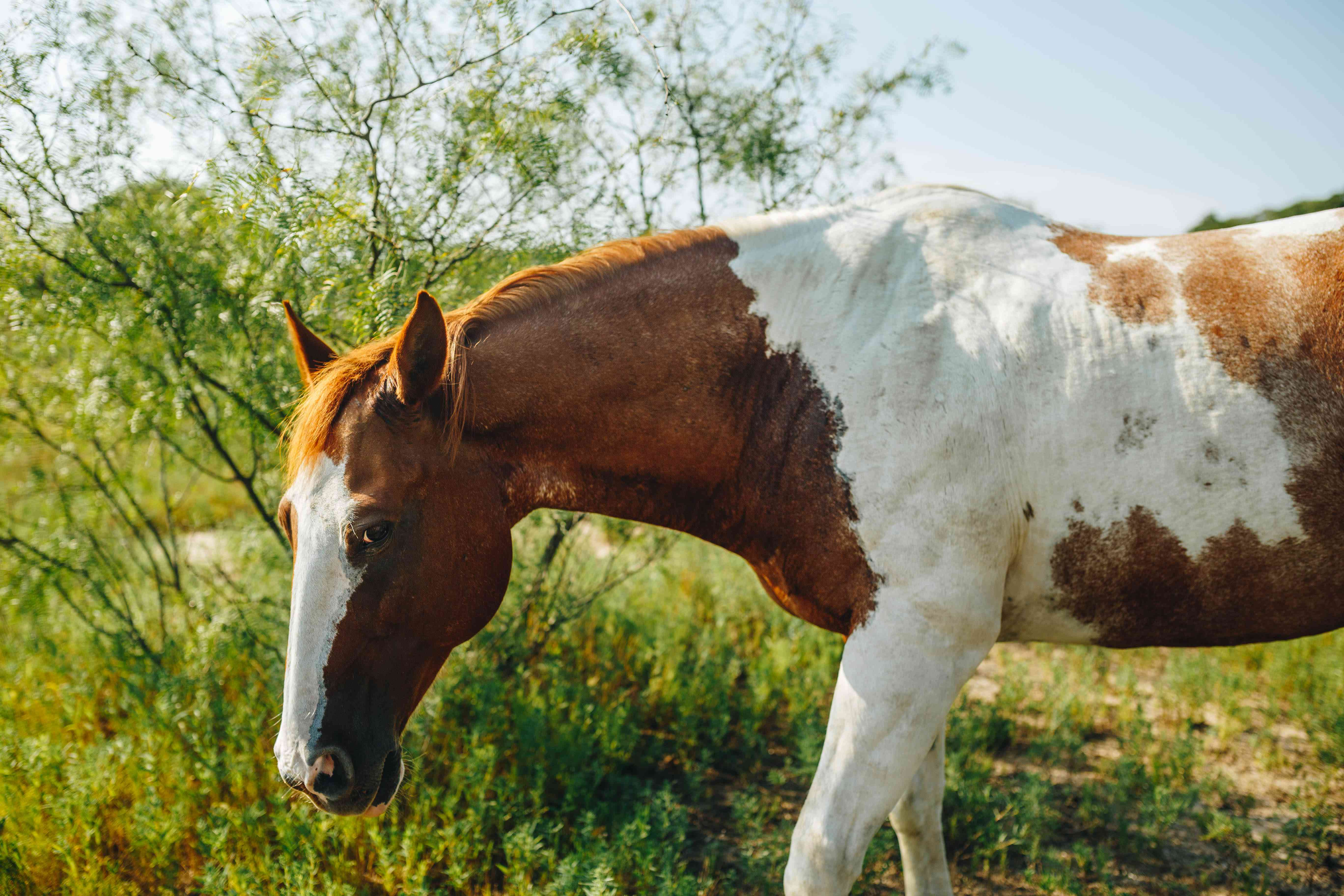 brown and white horse gives side eye