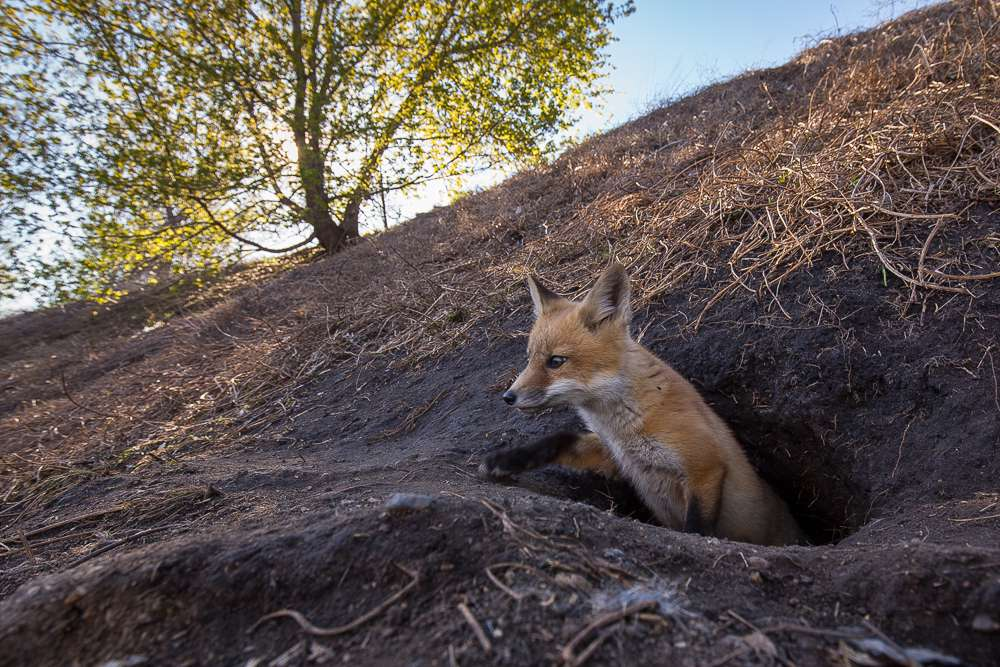 Foxes typically have more than one den. They will move between two or more dens as the kits grow up.