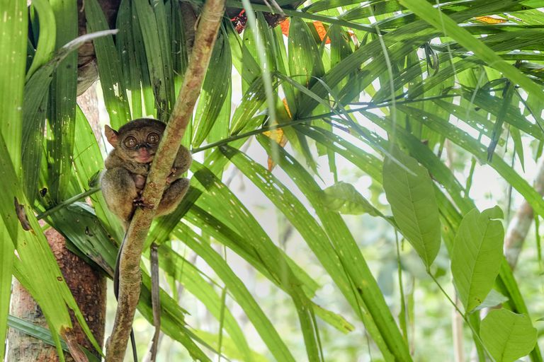 A tiny, brown Phillipine tarsier clutching a palm tree
