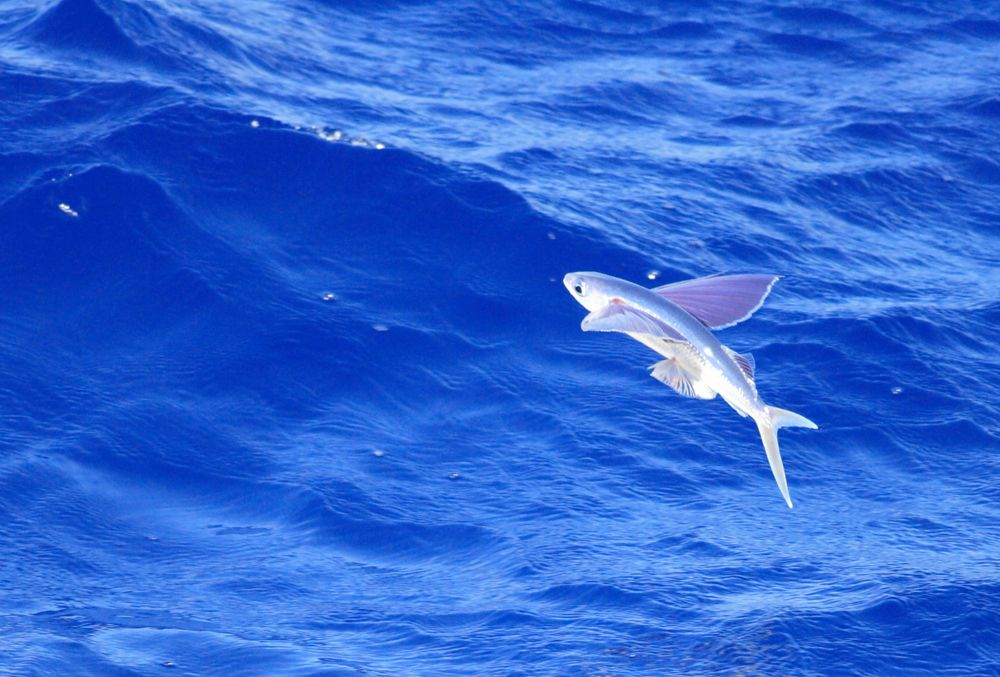 Flying fish leave the water entirely in order to escape trouble.