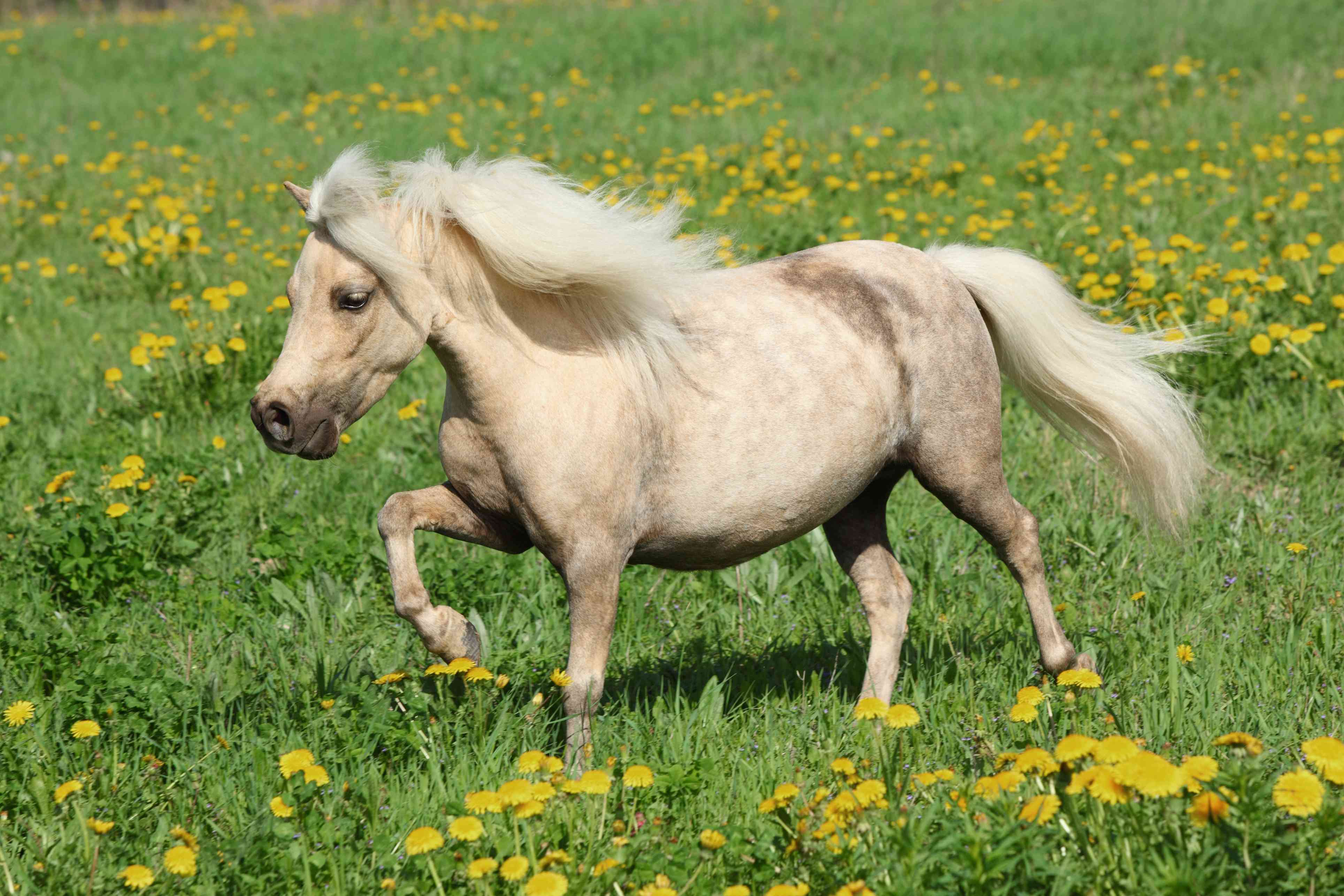 white falabella small horse trots through meadow full of dandelions