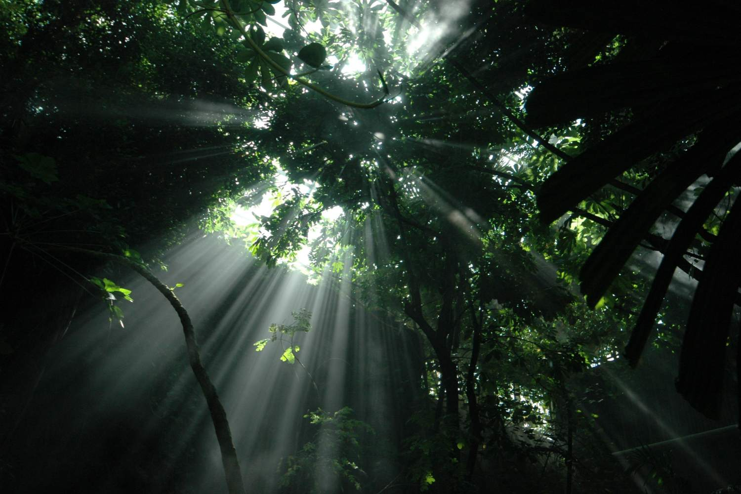 Tropical forest sunbeams through the canopy
