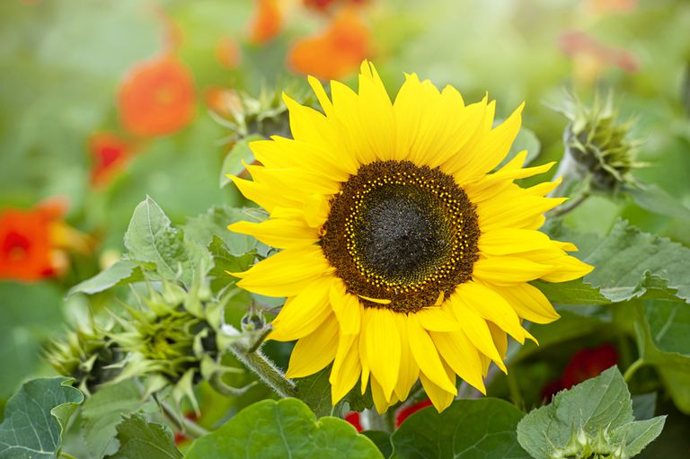 Close-up image of a single vibrant yellow, Sunflower also known as Helianthus annus