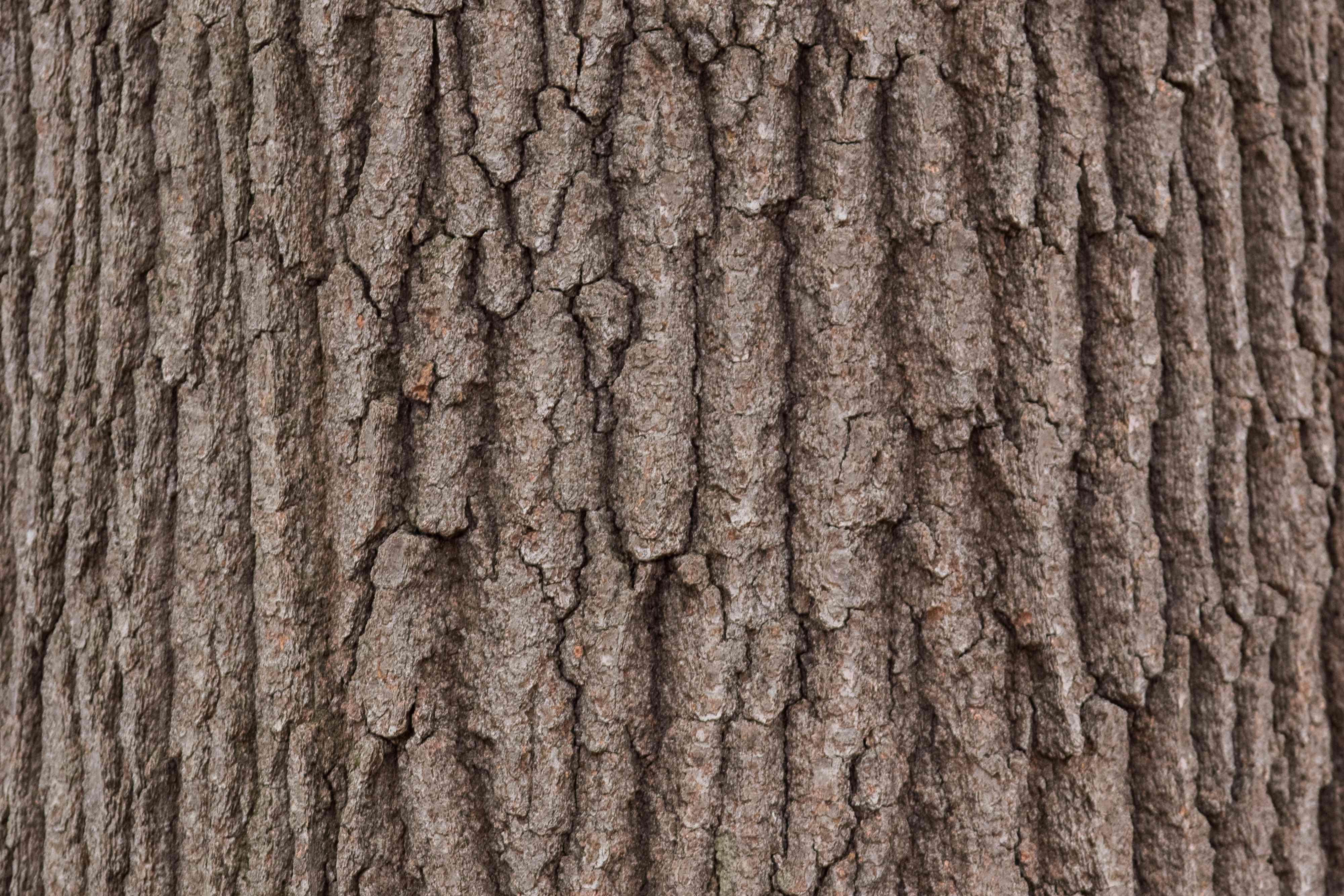 Close up of oak bark