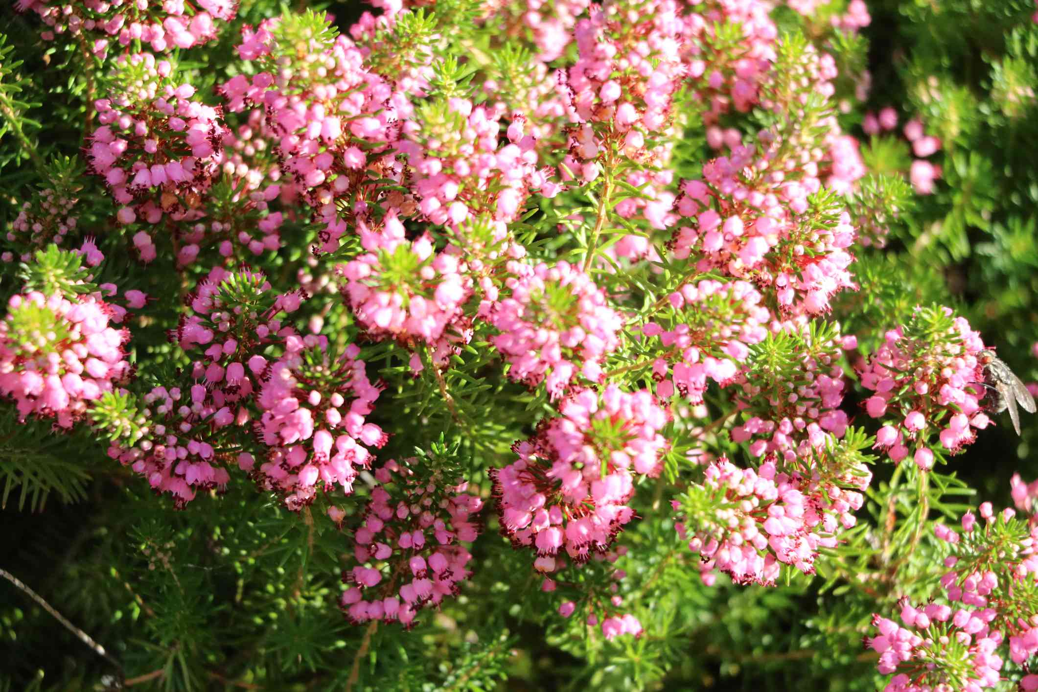 Winter heath with pink flowers