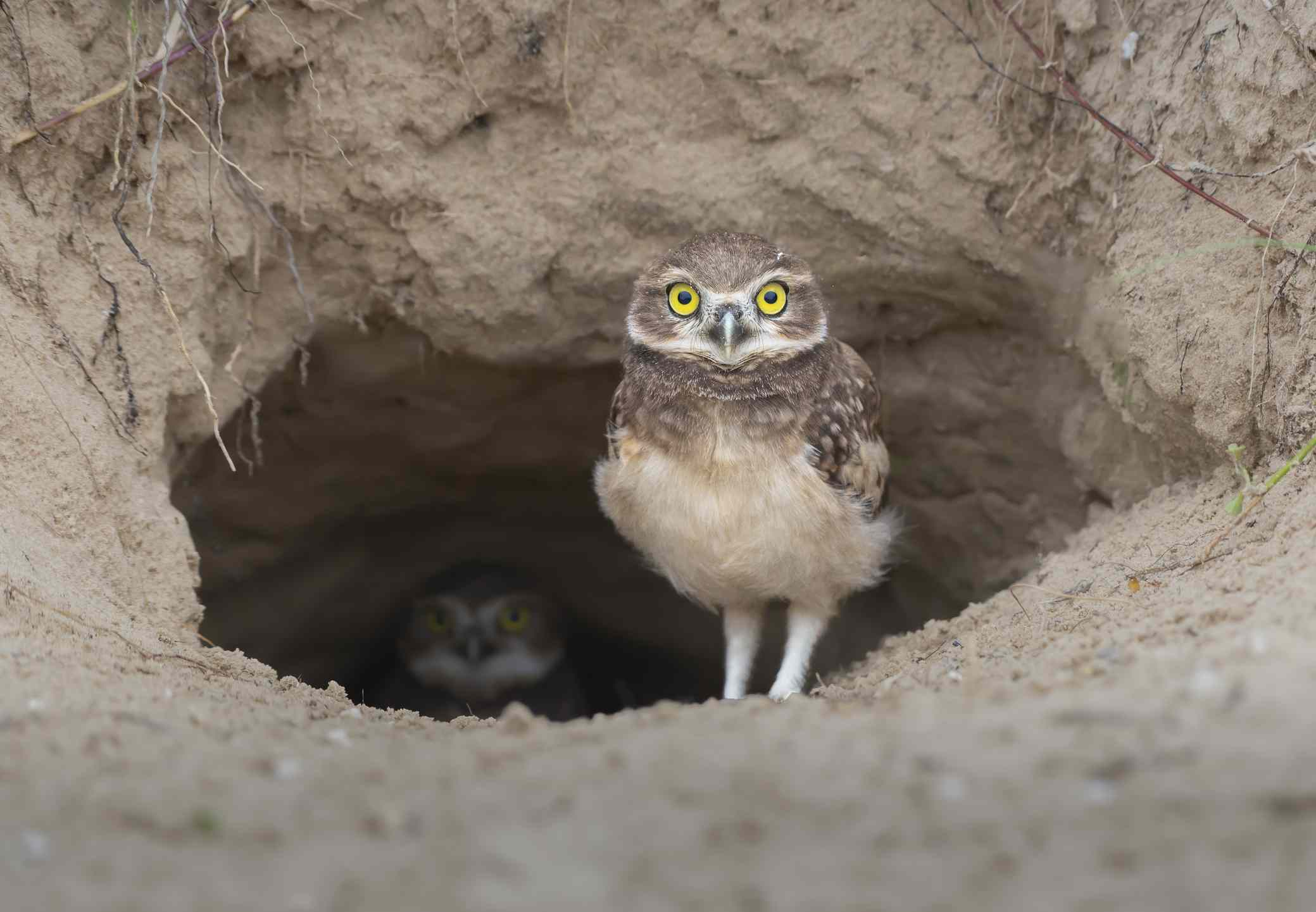 Portrait of burrowing great horned owl in hole,Morro dos Conventos,Santa Catarina,Brazil