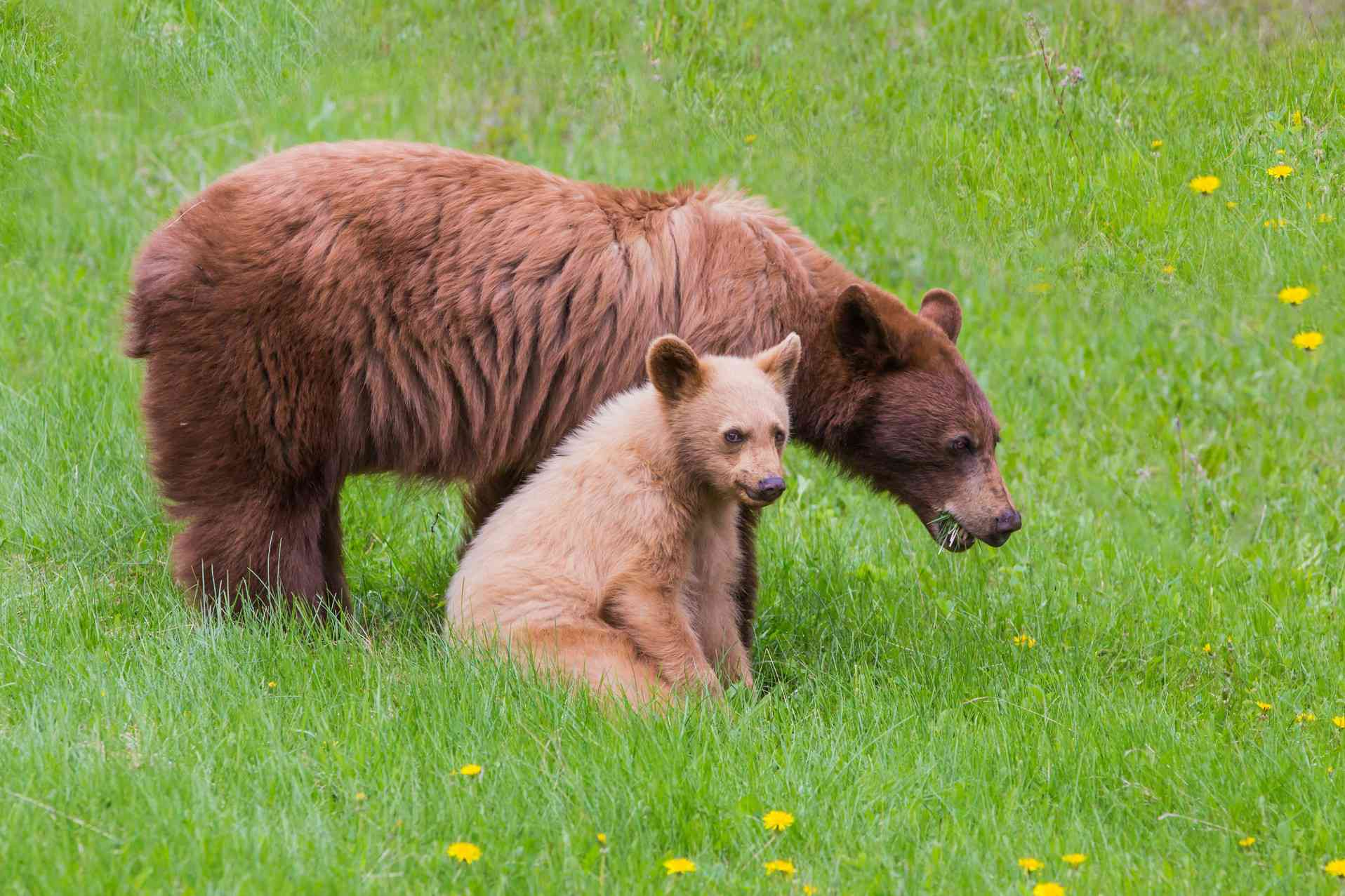 cinnamon-colored black bear with blond cub side by side in field with dandelions